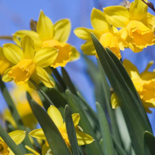 Pianta i narcisi gialli